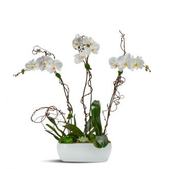 Blooming Orchid Trio