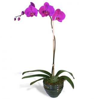 Simple Purple Orchid